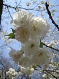 shirotae1